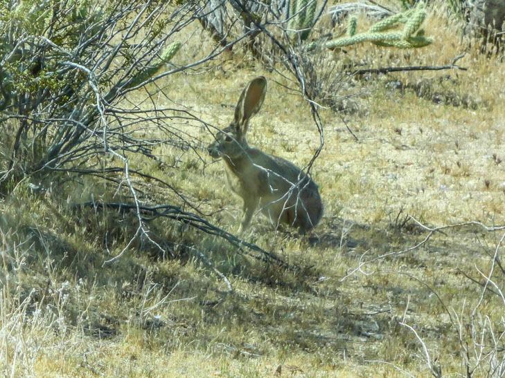 Anza Borrego -Jack Rabbit