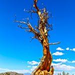 Papoose Flats-Pinyon Pine